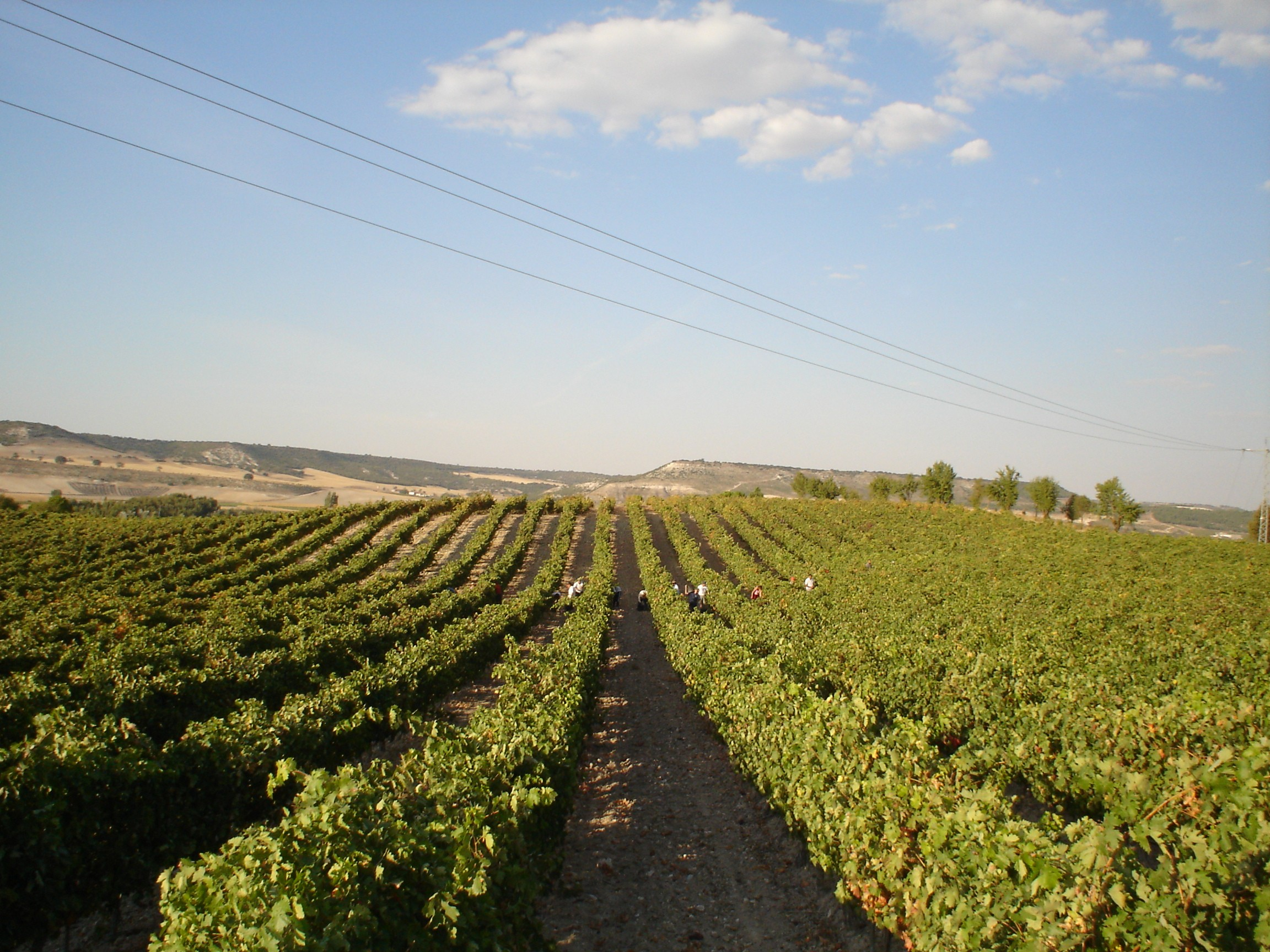 foto viñedos ribón