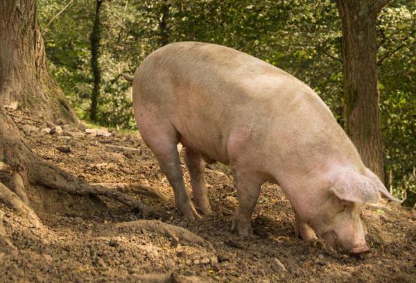 cerdo con eusko label 2