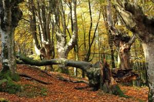 Bosque de Hayas_Foto Nueva Europa S.L