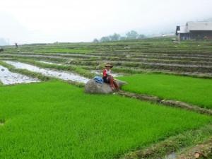 Recolectora de arroz en Sapa