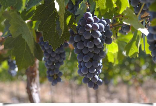 Web Ruta del Vino Yecla_vid_1