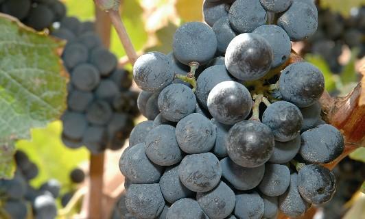 uvas2 maduras(1)